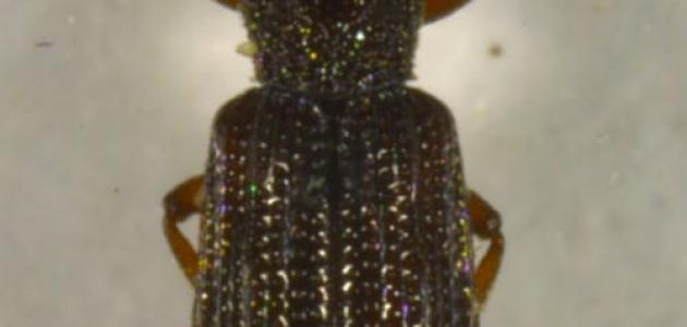 Adıyaman'da yeni bir böcek türü tanımlandı