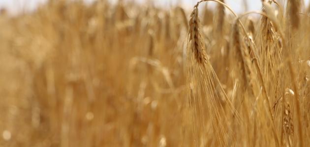 Tarımda bilinçsiz yapılan ilaçlama çiftçiyi perişan ediyor