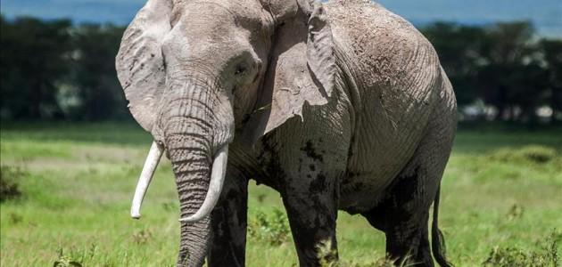 Kenya'da 3 ayda 26 fil öldü