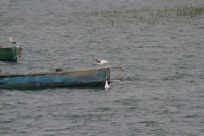 Beyşehir Gölü'nde martıların balık avı