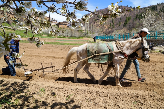 Toroslar'da köylülerin en büyük yardımcısı at ve katırlar