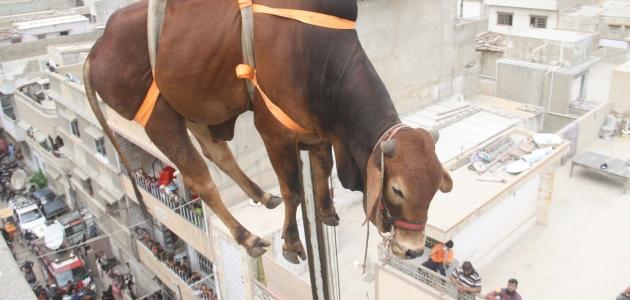 Kurbanlık sığırları çatıdan vinçle indirdiler