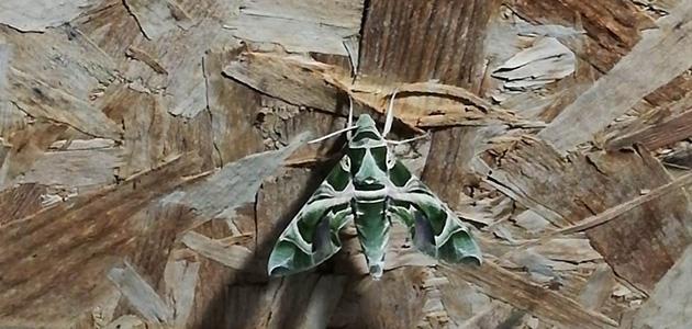 Seydişehir'de Mekik Kelebeği görüldü