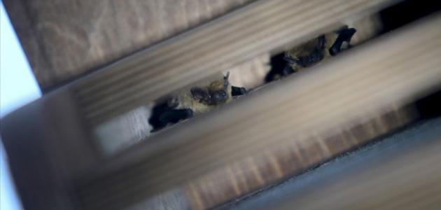 Apartman boşluğundaki 60 yarasa doğaya bırakıldı