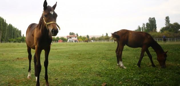 Şampiyon yarış atlarının yaylası: Konya