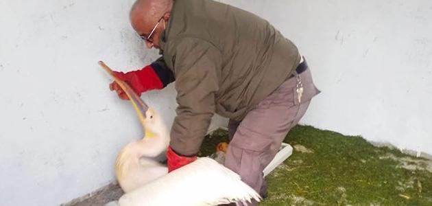 Yaralı pelikan tedaviye alındı
