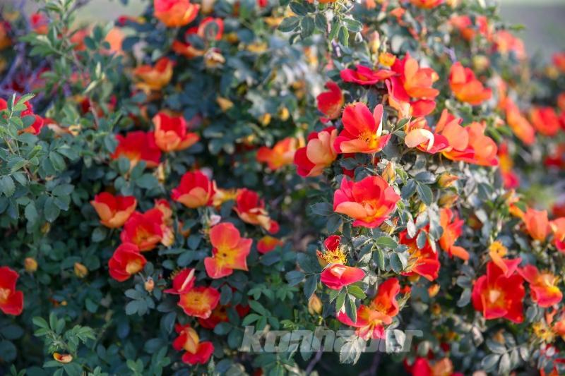 Van'da doğada renk cümbüşü