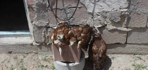 Konya'da yol kenarında bulunan 3 kızıl şahin tedavi altına alındı