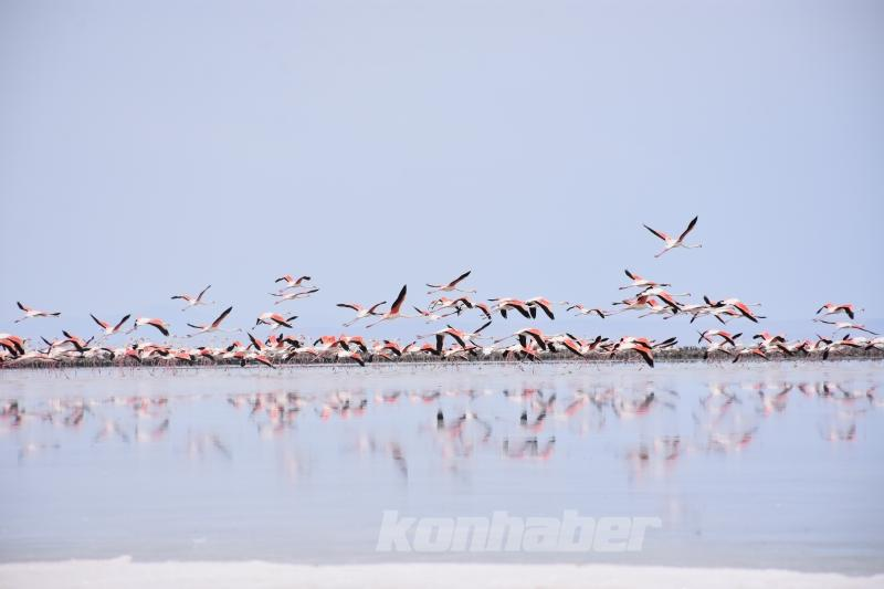 Doğa harikası Tuz Gölü'nde yavru flamingo şöleni