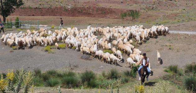 """Hayvanlarını """"koyun banyosu"""" ile kenelerden arındırıyorlar"""