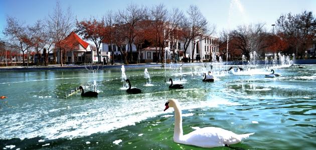 Konya'da kuğular buz tutan havuzda güzel görüntüler oluşturdu