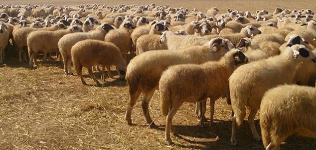 Konya Büyükşehir'den hayvancılığa destek