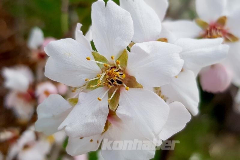 Konya'da İlkbaharın müjdecisi meyve ağaçları çiçek açtı