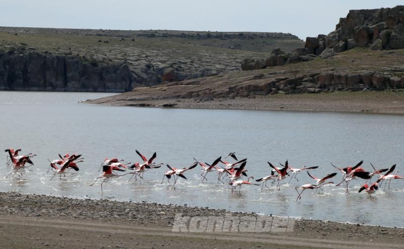 Kuş cenneti Tuz Gölü'nün misafir flamingoları evlerine gelmeye başladı