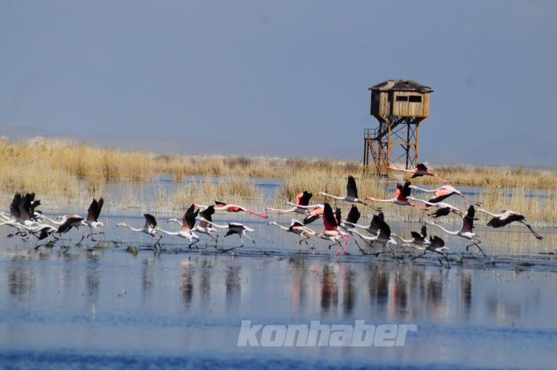 Akgöl sazlıkları flamingolarla ayrı bir güzelliğe büründü