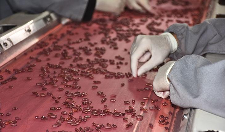 Islah edilerek üretilen tohumlar 20 ülkeye satılıyor