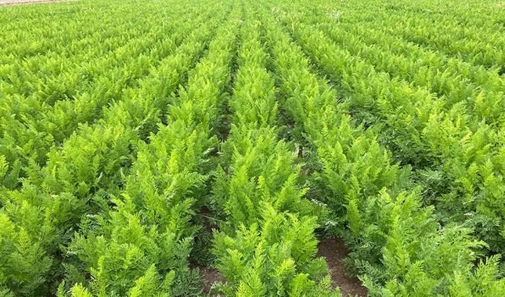 Havucun merkezi Konya'da hasat sürüyor