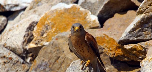 Kerkenez kuşunun yiyecek arayışı