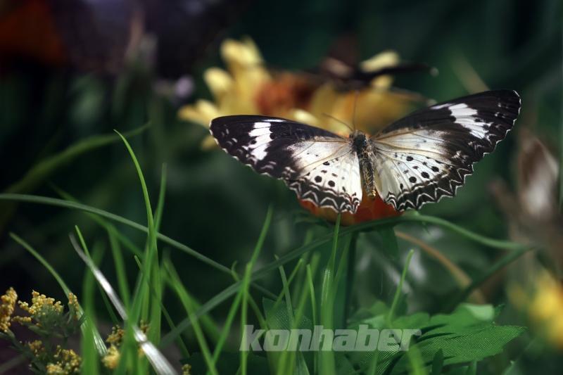 Kelebek bahçesinin narin sakinleri, mevsim meyveleriyle besleniyor